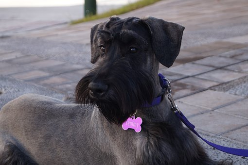 Pet, Dog, Elegant, Luxurious, Bitch, Animal, Puppy