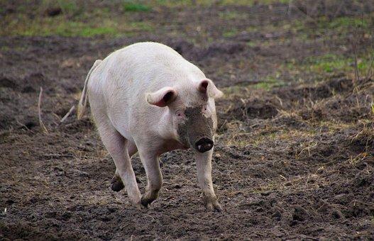 Pig, Farm, Dirty, Livestock, Proboscis, Agriculture