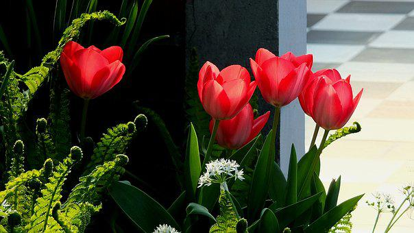 Tulips, Red Tulips, Flowers, Spring, April