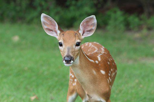 Deer, Fawn, Animal, Wildlife, Young, Nature, Wild, Cute