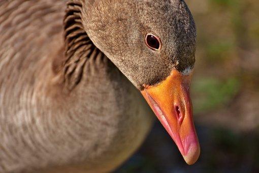 Goose, Water Bird, Poultry, Greylag Goose, Animal