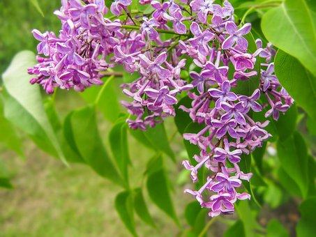 Organ, Flower, Bush, Lilac Bush, Purple, Spring, Bloom
