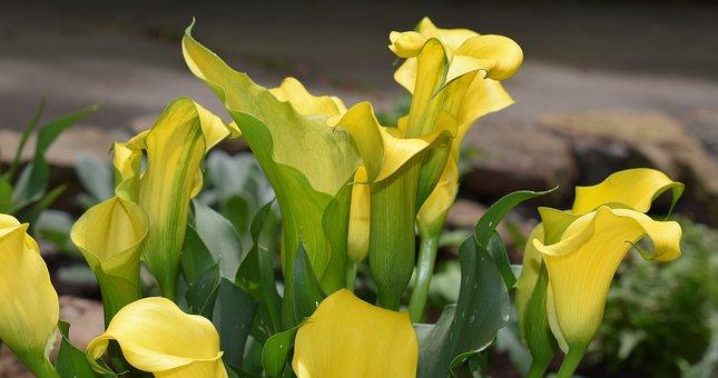 Calla Lily, Flower, Blossom, Bloom, Plant, Perennial