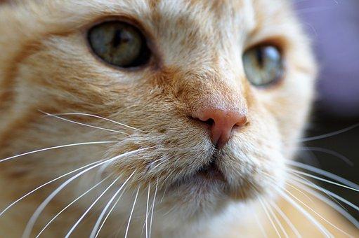 Cat, Tomcat, Domestic Cat, Pet, View, Cat's Eyes, Head