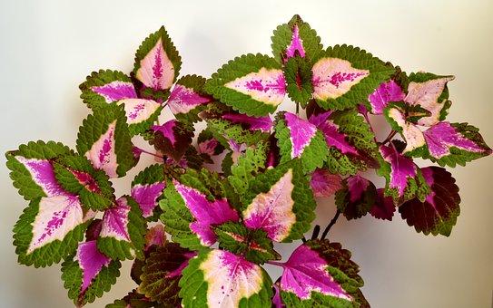 Colorful Nettle, Lamiaceae, Houseplant
