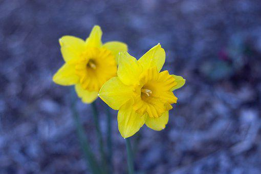 Daffodils, Spring, Flower, Narcissus, Nature, Garden