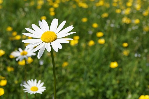 Daisy, Geese Flower, Meadow, Flower, Spring, Close