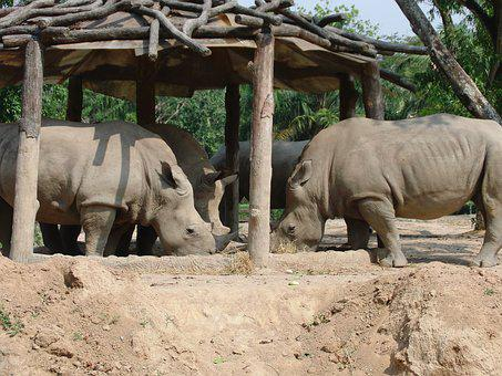 Rhinos, Zoo, Eat, Animals, Wild Animals