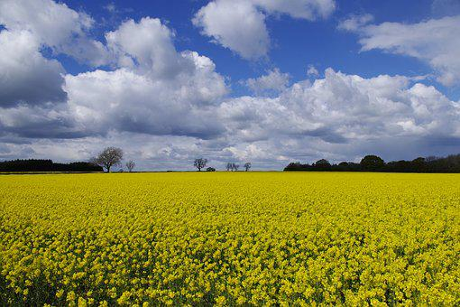 England, Oilseed Rape, Yellow, Fields, Horticulture