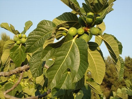 Fig Tree, Figs, Fruits, Tree, South Italy, Sun Fruits
