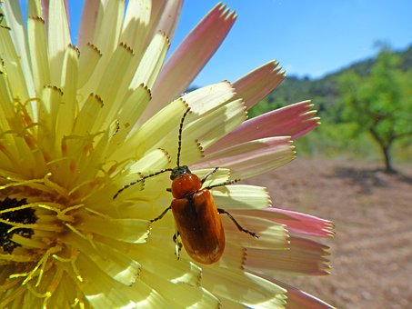 Weevil, Beetle, Diptera, Orange Beetle, Flower