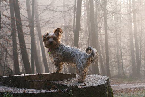 Dogs, Animal, Pet, Yorkshire Terrier, Small Dog, Forest