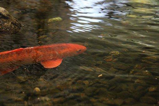 Goldfish, Fish, Freshwater Fish, Water Surface, Toy