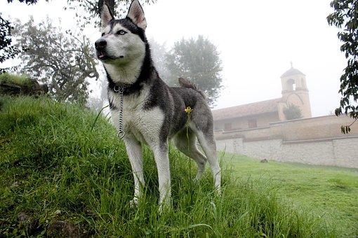 Dog, Husky, Pet, Animal, Cute, Friend, Breed, Siberian