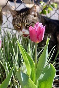 Cat, Tulip, Animal, Flowers, Feline, Garden, Tabby