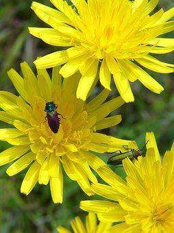 Flowers, Insects, Bugs, Lepidoptera, Dandelion