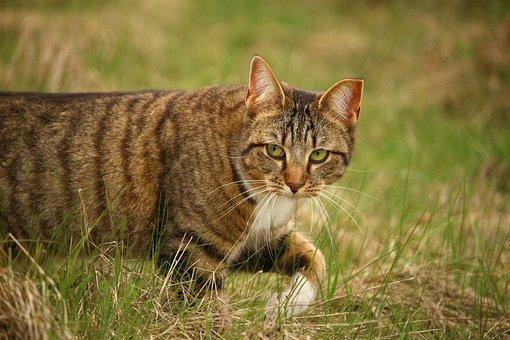 Cat, Domestic Cat, Tiger Cat, Mackerel, Kitten, Mieze