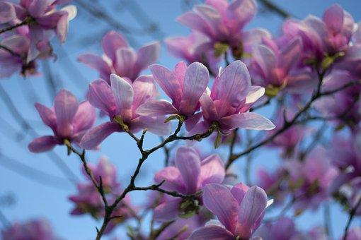Magnolia, Sky, Spring, Tree, Blossom, Flower, Bloom