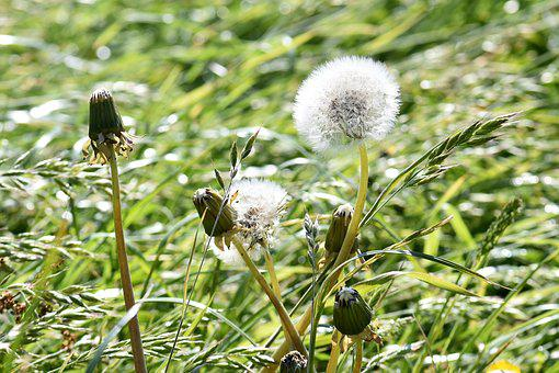 Meadow, Dandelion, Spring, Pointed Flower, White, Grass