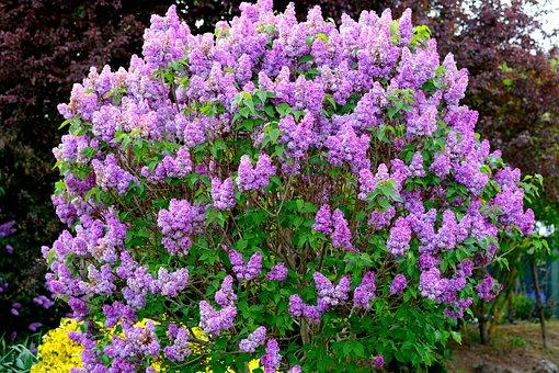 Lilac Bush, Lilac, Bloom, Blossom, Bloom, Bush, Spring