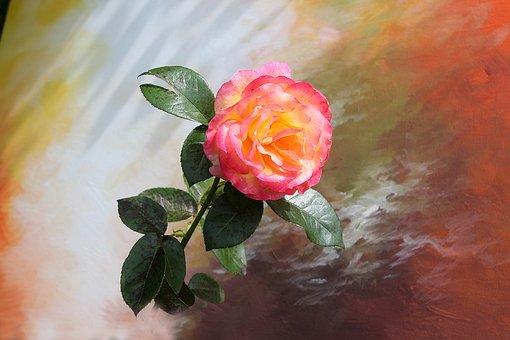 Flower, Rose, Still Life, Pink Rose, Pink, Blossom