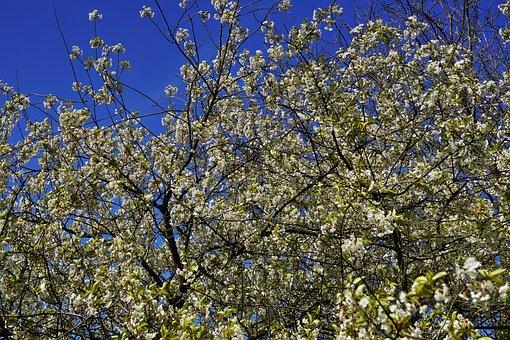 Apple Tree, Apple Tree Flowers, Sky, Nature, Bloom