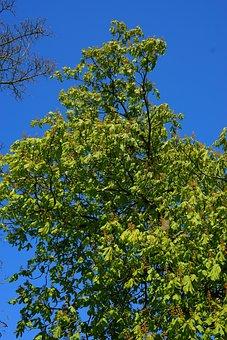 Chestnut, Spring, Tree, Chestnut Tree, Green, Flowers