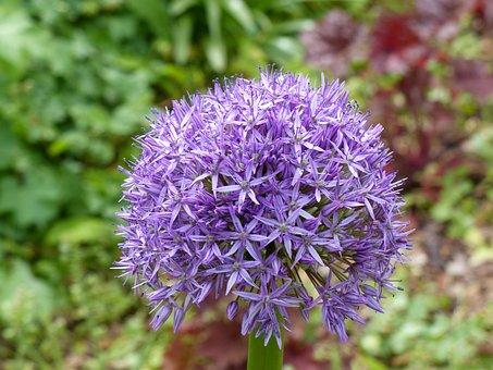 Spring, Ornamental Onion, Flower, Allium, Blossom
