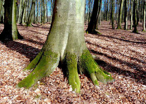 Tree, Beech, Forest, Mood, Nature, Spring, Log, Leaves