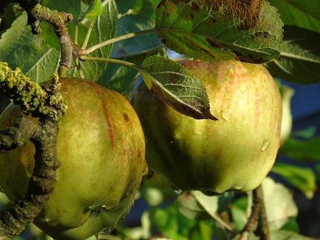 Apple, Apple Tree, Autumn, Harvest, Ripe, Morgentau
