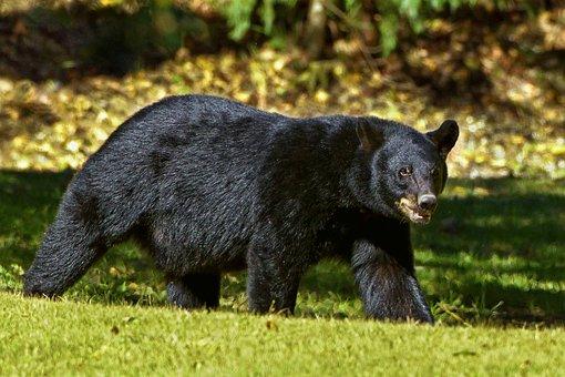 Black Bear, Bear, Louisiana, Louisiana Black Bear
