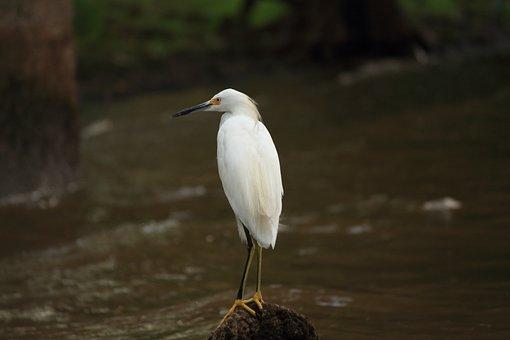 Snowy, Egret, White, Bird, Louisiana, Swamp, Wetland