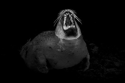 Seal, Robbe, Yawn, Tooth, Tired, Foot, Swim