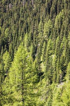 Forest, Tree, Conifer, Nature, Landscape