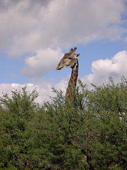 Giraffe, Bushveld, Survey