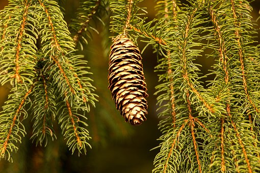 Pine Cones, Holly, Fir, Needles, Nature, Green, Tree
