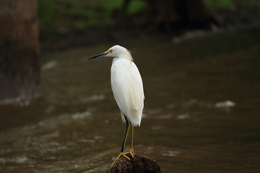 Snowy, Egret, White, Bird, Louisiana, Swamp, Wetland