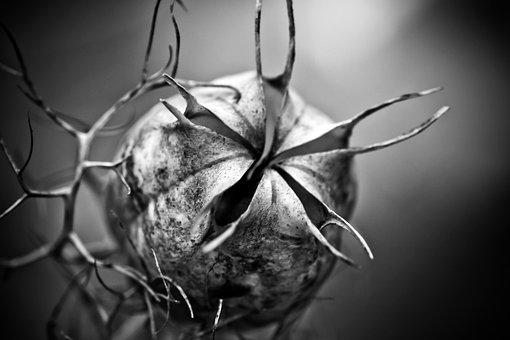 Nigella, Boll, Garden Plant, Hahnenfußgewächs