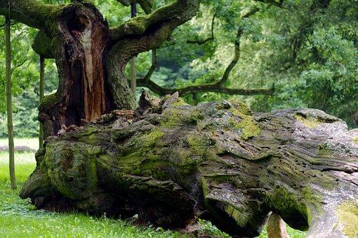 Tree, Overturned, Rotten, Old, Great, Oak, Forest