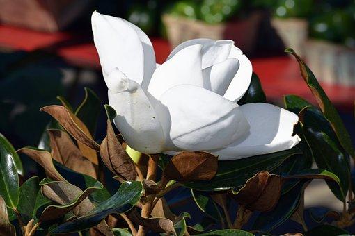 Magnolia Flower, Tree, Plant, Botany, Southern