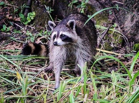 Raccoon, Coon, North American Raccoon, Facemask