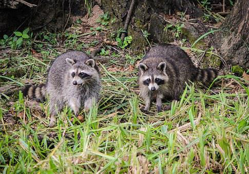 Raccoons, Coon, North American Raccoon, Facemask