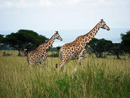Rothschild-giraffes, Uganda, Savannah, Young Animal