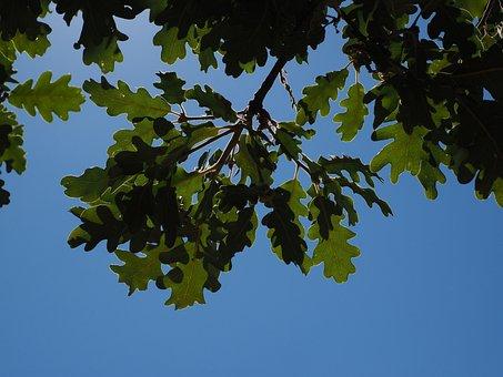 Oak Leaves, Silvery, Shine, Silver Edge, Light