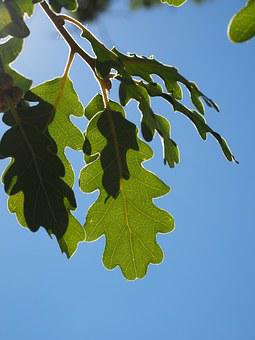 Leaves, Oak Leaves, Silvery, Shiny, Silver Edge, Light