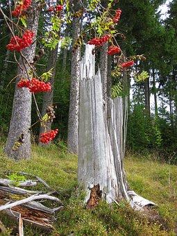 Autumn, Rowan, Log, Sorbus Aucuparia, Mountain Ash