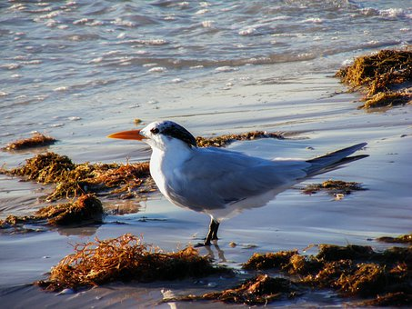 Royal Tern, Bird, Animal, Wildlife, Wild, Beach, Nature