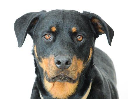 Rottweiler, Dog, Canine, Face, Animal, Pet, Cute, Eyes