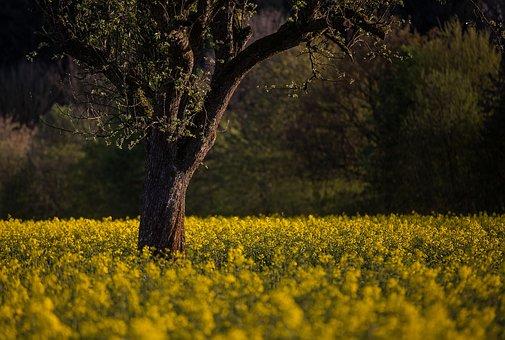 Spring, Oilseed Rape, Abendstimmung, Field Of Rapeseeds