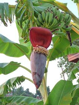 Banana, Banana Plant, Tropics, Banana Shrub, Tropical
